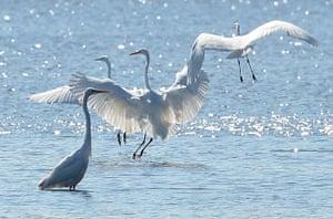 week in wildlife: Great Egret (Ardea alba) birds enjoy sun