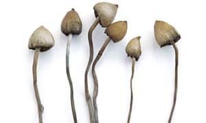 Specimens of magic mushrooms - Liberty Capsulborough, West Sussex.