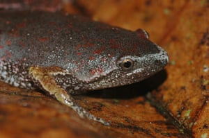 Yasuni wildlife: narrow-mouth frog