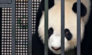 Kai Kai, a five-year-old male giant panda originally named Wu Jie, looks out from his cage as he is unveiled to the media after arriving at Changi International Airport in Singapore this morning.  Kai Kai and Jia Jia, a four-year-old female originally named Hu Bao, are on a 10-year loan from China and will be exhibited at the River Safari in the Singapore zoo.