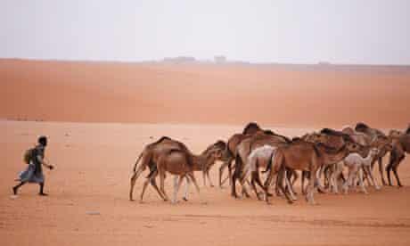 Herding camels near Changuetti in Mauritania