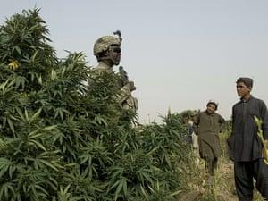 marijuana field near Morghan-Kecha village, Afghanistan