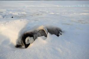 Penguins in Antarctica: A dead penguin chick