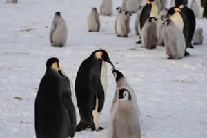 Penguins in Antarctica: Adults and chicks