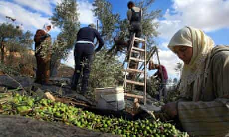 West Bank olive crop