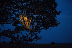 National Geographic: UGANDA A lion climbs a tree to sleep, in Queen Elizabeth Park
