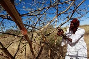 Sudan gum arabic: A farmer collects gum arabic from an acacia tree