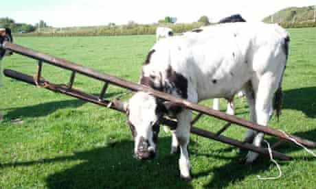 Cow with head stuck in ladder
