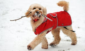 Tess the dog plays in snow in Bramhall Park in Stockport, northern England, on January 18, 2013.