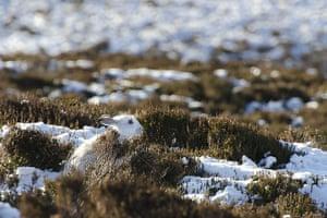 Week in Wildlife: White Hare in Cairngorms, Scotland