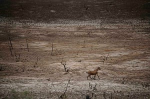 Week in Wildlife: A goat runs across the dry lakebed of the Cocorobo Dam , Brazil