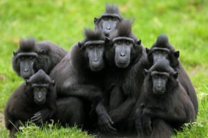 Week in Wildlife: Crested Macaques at Dublin Zoo