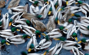 Week in Wildlife: A flock of duck is being fed on a pond at the Royal Lazienki Park in Warsaw