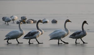Week in Wildlife: Swans are seen on the wetland of the Shengtian Lake  in Shanxi, China