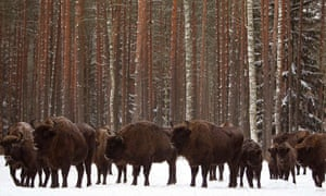 Week in Wildlife: Bisons are seen at a forest in Nalibokskaya Forest Reserve, Belarus