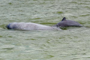 Week in Wildlife: dolphins in the Mekong river in Kratie province, Cambodia