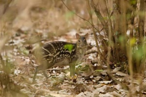 Week in Wildlife: Ecology and behaviour of the Indian Chevrotain