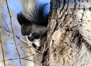Week in Wildlife: A grey squirrel, in Heihe City, Heilongjiang China