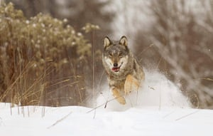 Week in Wildlife: Tamed wolf runs in a field near the remote village of Sosnovy Bor