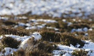 The wintry shot was snapped on Thursday (17 Jan) by wildlife photographer Jack Perks in the snowy Cairngorms in Scotland, showing a mountain hare.