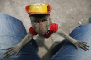 20 Photos: A nine-month-old macaque performs by side of road in Surakarta, Indonesia