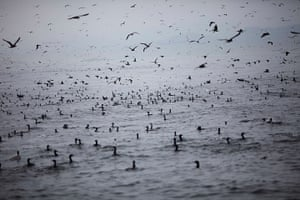 FTA: Rodrigo Abd: Seabirds gather near fishing boats in the Pacific waters
