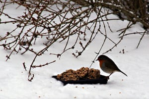 Readers' snow pictures: Robin