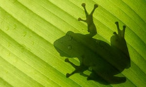 The shadow of a frog is seen on a banana leaf