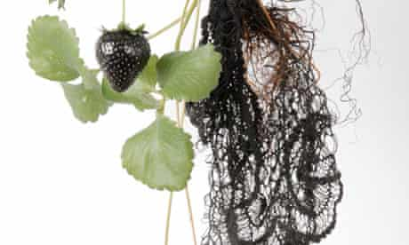 Biolace … the strawberry plant that could grown lace from its roots