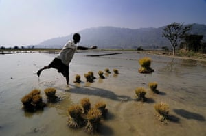 24 hours: Mayong, India: a farmer puts paddy seedlings in his field