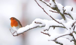 Here's another inhabitant of northern Britain: a robin sits on a snow covered branch in a garden in Northumberland.