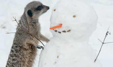 A meerkat at London Zoo checks out a new playmate in its pen