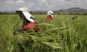 Peasant women work in a rice plantation in Matagalpa,  Nicaragua