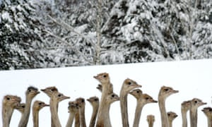 Now don't go sticking your head in the sand...er snow!  No wonder the ostriches look a bit bewildered at this farm in the Belarus village of Kozishche.