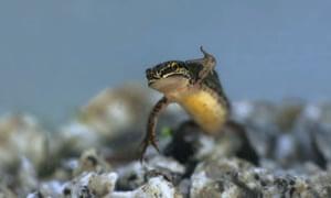 Palmate newt (Triturus helvetica) in water