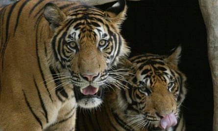Asian tigers at the Si Racha Tiger Farm in Thailand