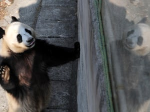 Three-year-old female giant panda Yaya is seen appearing to wave at her reflection in the Qinling giant panda field training base, Foping County, in northwest China's Shaanxi Province.