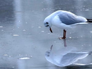 Another critter appearing to look at its own reflection, this time a gull on the ice of a frozen lake In Moers, Germany.