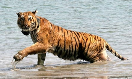 Tiger in Sunderban mangrove forest