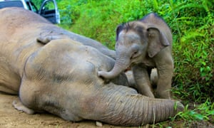 A pygmy elephant calf stays next to its dead mother in Gunung Rara Forest Reserve on Borneo island, Malaysia in this picture released by Reuterstoday. Ten endangered Borneo pygmy elephants have been found dead in the state of Sabah on Borneo. The elephants were believed to have died of poisoning over the last two weeks as puzzled wildlife officials tried to find the cause of their deaths.