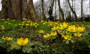 Just to lift your spirits: delicate little aconites are in bloom in Cambridge, as the first signs of spring appear in the city.