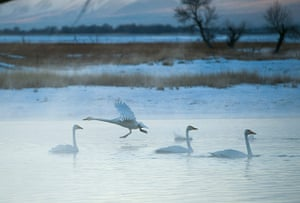 Week in wildlife: Swans frolic at a wetland  in Wenquan, China.