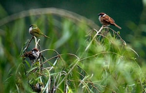 Week in wildlife: Sparrows perch on a willow tree by the West Lake in Hanoi