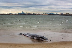 Week in wildlife: A deceased beached whale lies on a beach with the skyline of New York