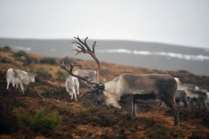 Week in wildlife: The Cairngorm Reindeer Herd,