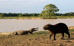 Week in wildlife: A babilla stands near a chiguire at a lagoon at the Hato La Aurora