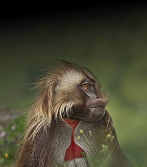Week in wildlife: Eye-to-eye with a magnificent male gelada