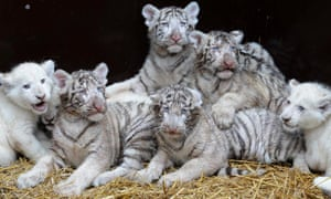 Four eight-week-old white lion cubs and four sixteen-week-old white tiger cubs pose for photographs after they received their first medical check-up, in the safari-park in Hodenhagen, Germany.