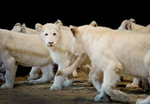 24 hours in pictures: A six month old white lion cubs at Circus Krone