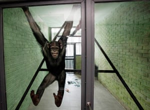 24 hours in pictures: Anfisa, a 8-year-old female chimpanzee, smiles in her enclosure